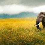 ws_Elephant_Yellow_Field_Tanzania_1920x1200
